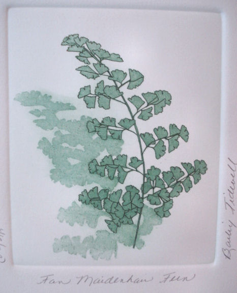 fair_maidenhair_fern_tidwell